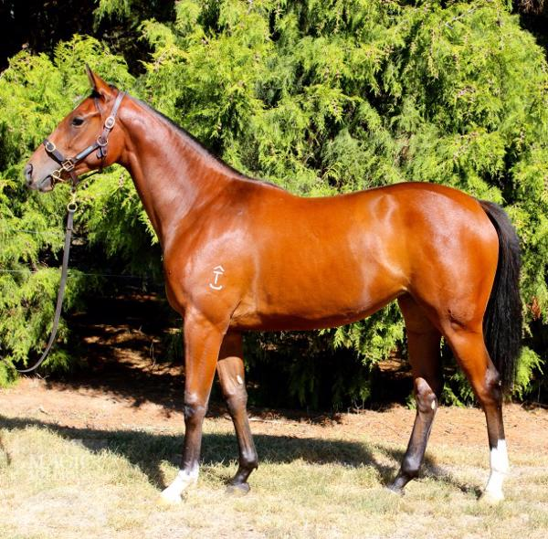 Hallowed Crown at Adelaide Yearling Sale Session 2