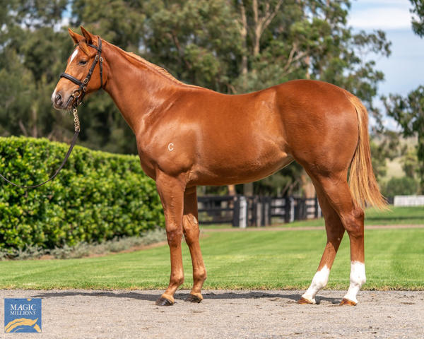 Coolmore Stud - MM Gold Coast Yearling Sale Lot 207