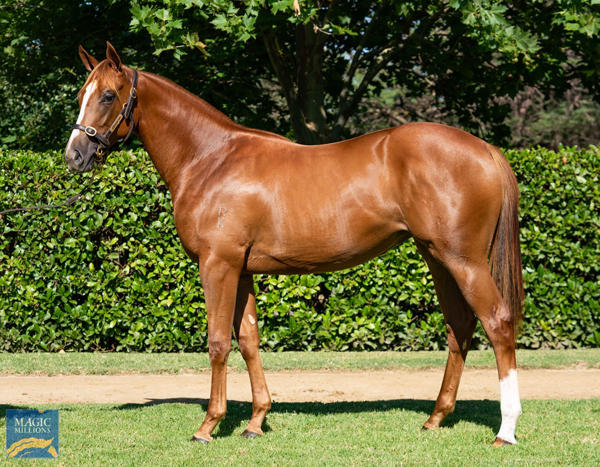 Newhaven Park - MM Gold Coast Yearling Sale Lot 241