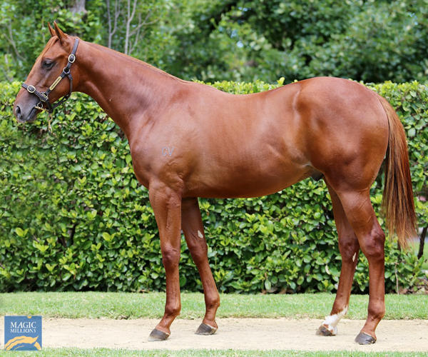 Newhaven Park - MM Gold Coast Yearling Sale Lot 265