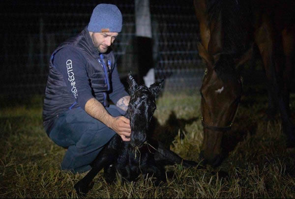 A star is born - the Pierro colt from Aonair comes into the world.