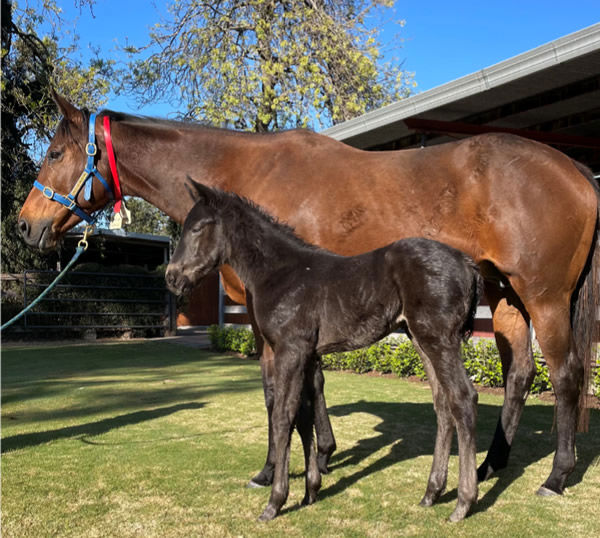 Calyx filly from Dream Genie at Willow Park.