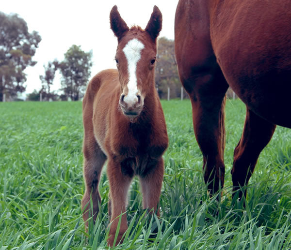 Prized Icon filly from Cosmic View