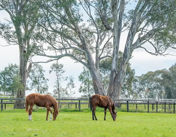 Leneva Park provides idyllic surrounds for thoroughbred spelling and sales preparation - click for more information