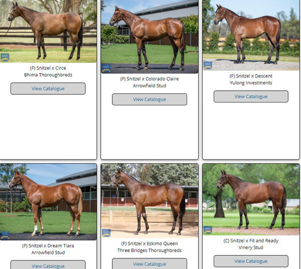 Click to see the full gallery of MM Snitzel yearlings that have images uploaded.