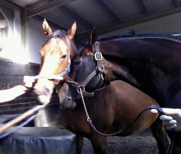Hello Helsinge! Bel Esprit and Black Caviar's dam Helsinge pictured moments before Ole Kirk's mother Naturale was conceived in 2011.