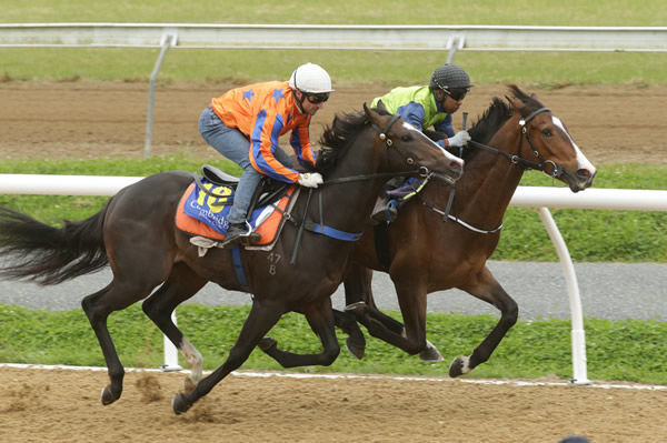 The Highly Recommended colt out of O'Reilly mare Borntobeirish (inside) winning his 800m heat at Cambridge on Tuesday. Photo: Trish Dunell