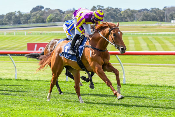 Succeed Indeed overpowers them at Sandown (Pat Scala/Racing Photos)