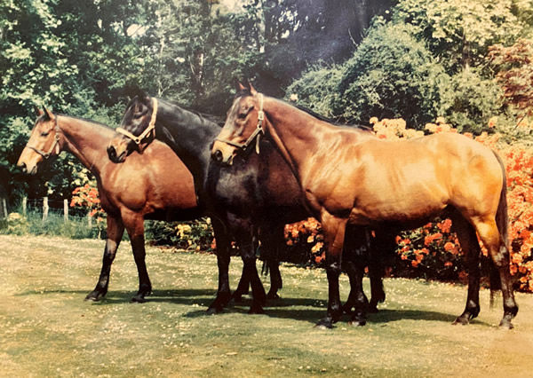 Sunbride's three great staying sons pictured in retirement at Te Parae: General Command, Ilumquh and Straight Draw.
