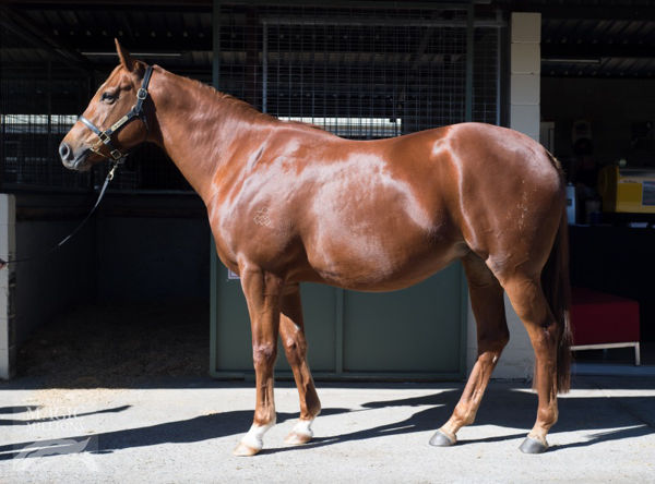 Sweet Sister was purchased by Hilldene Stud for $550,000 when carrying Supreme Idea