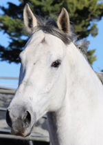 Grey, Gorgeous and Bred for Success