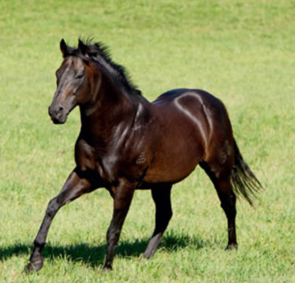 Commands (1996 - 2014) - sire of 80 SW's.
