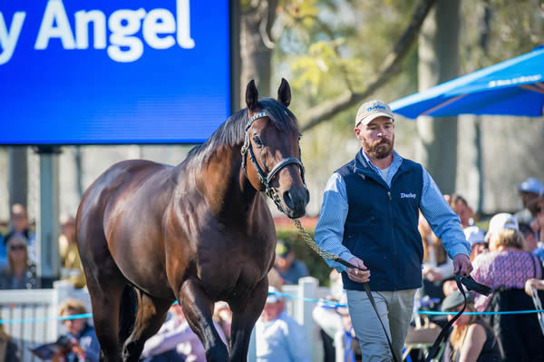 Harry Angel is the only son of Dark Angel standing in Australia this spring.