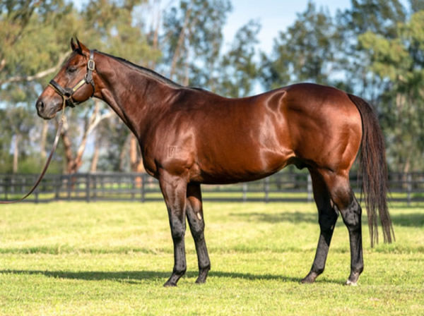 Nicconi stands at Widden Stud Victoria this spring.