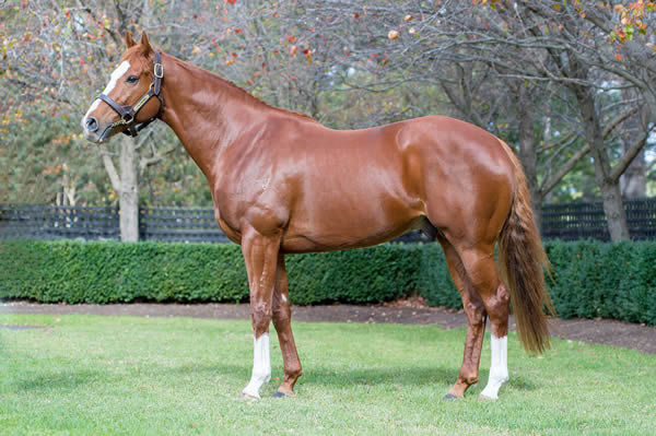 The first crop of yearlings by Sun Stud's Palentino will be a highlight at Inglis Premier