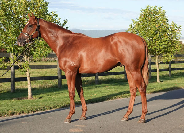 $550,000 Deep Field colt from Bousquet was bred and sold by Tasmanian based Grenville Stud.