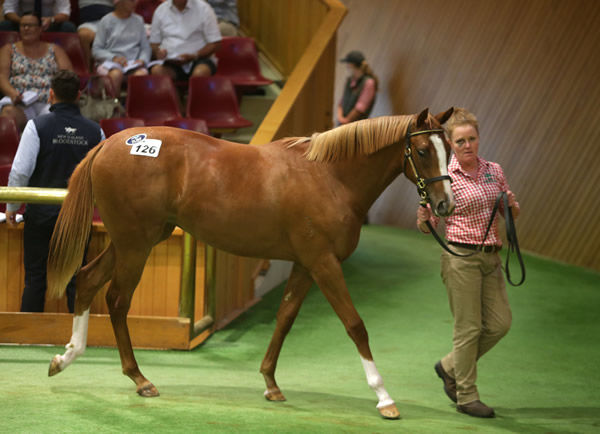 Lot 126, the Sebring filly purchased by Cambridge trainer Roger James Photo Credit: Trish Dunell