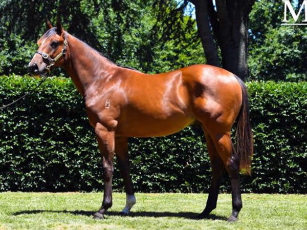 Jeronimos was the most expensive yearling from the first crop of Contributer