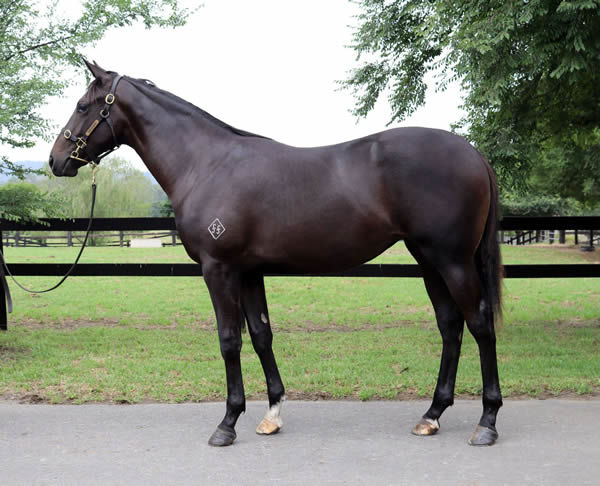 Lot 600 is by leading first season sire Pride of Dubai