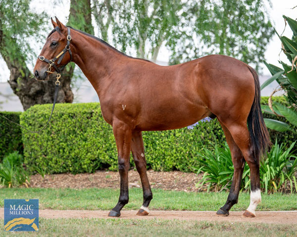 Maurice's Medad a $250,000 Magic Millions Gold Coast Yearling