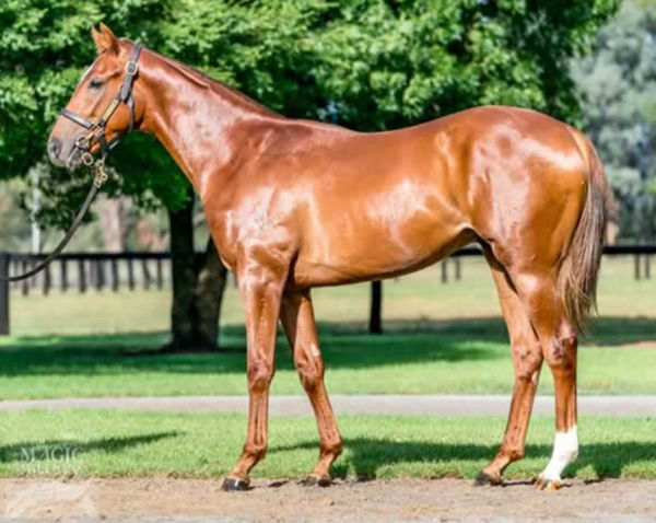 Our Playboy, pictured as a yearling, was bred and sold by Widden Stud