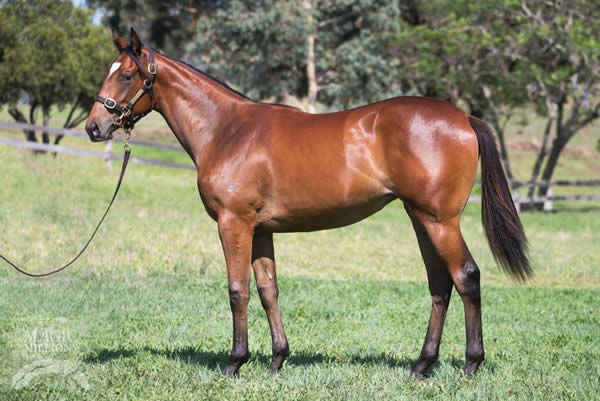 Vulpine a $340,000 Magic Millions Yearling